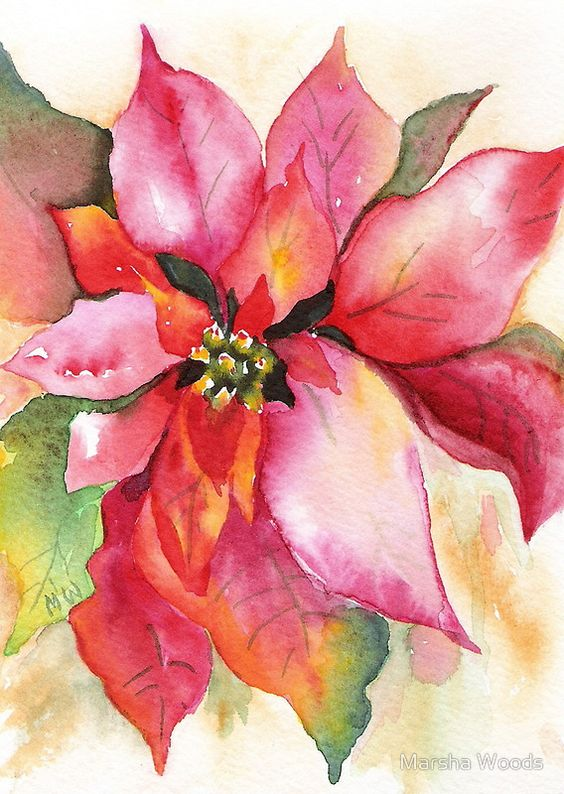 Christmas poinsettia - In this Watercolour by Marsha Woods, the colourful bracts range from reds through oranges to palest pinks. Modern breeding has allowed a variety of colours in the bracts, including striking cream and pale green tones.