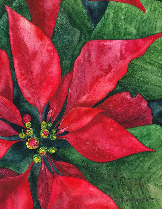 The colourful bracts - of Poinsettias look like flowers, but are actually leaves surrounding the real, quite tiny, flowers.(Painting by Casey Rasmussen White.)