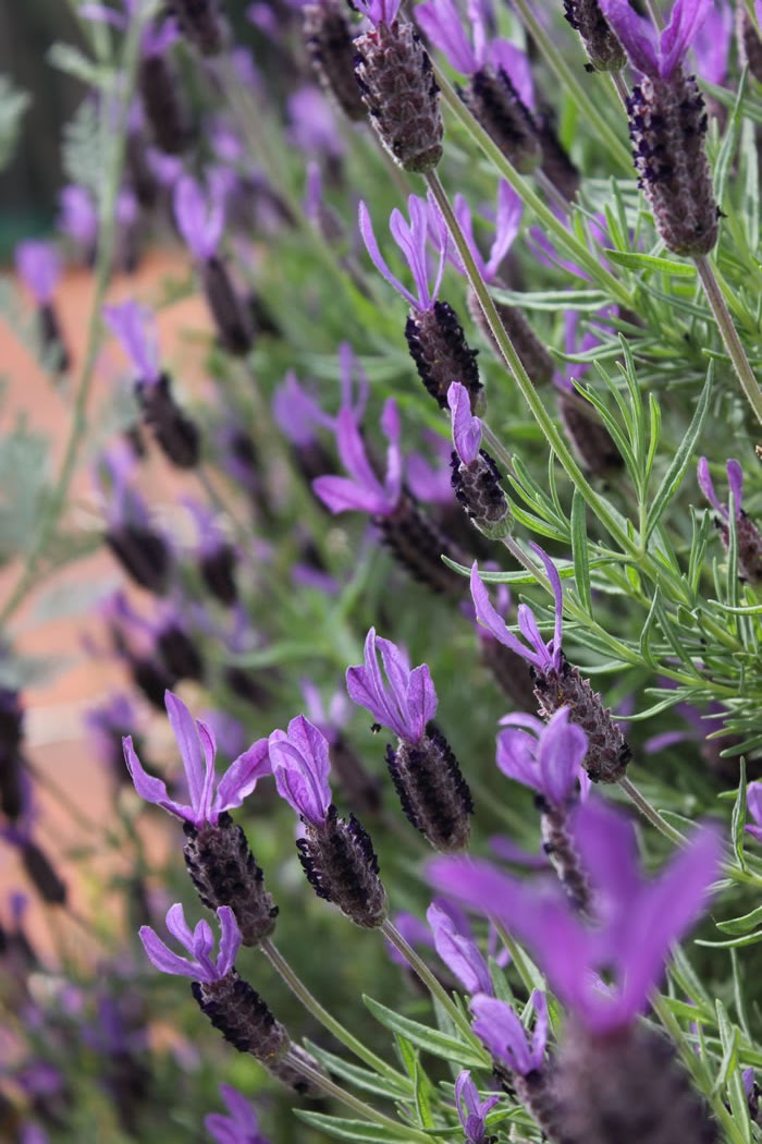 1: LAVENDER - French, Italian, English or Spanish : the bees don't mind and love them all.