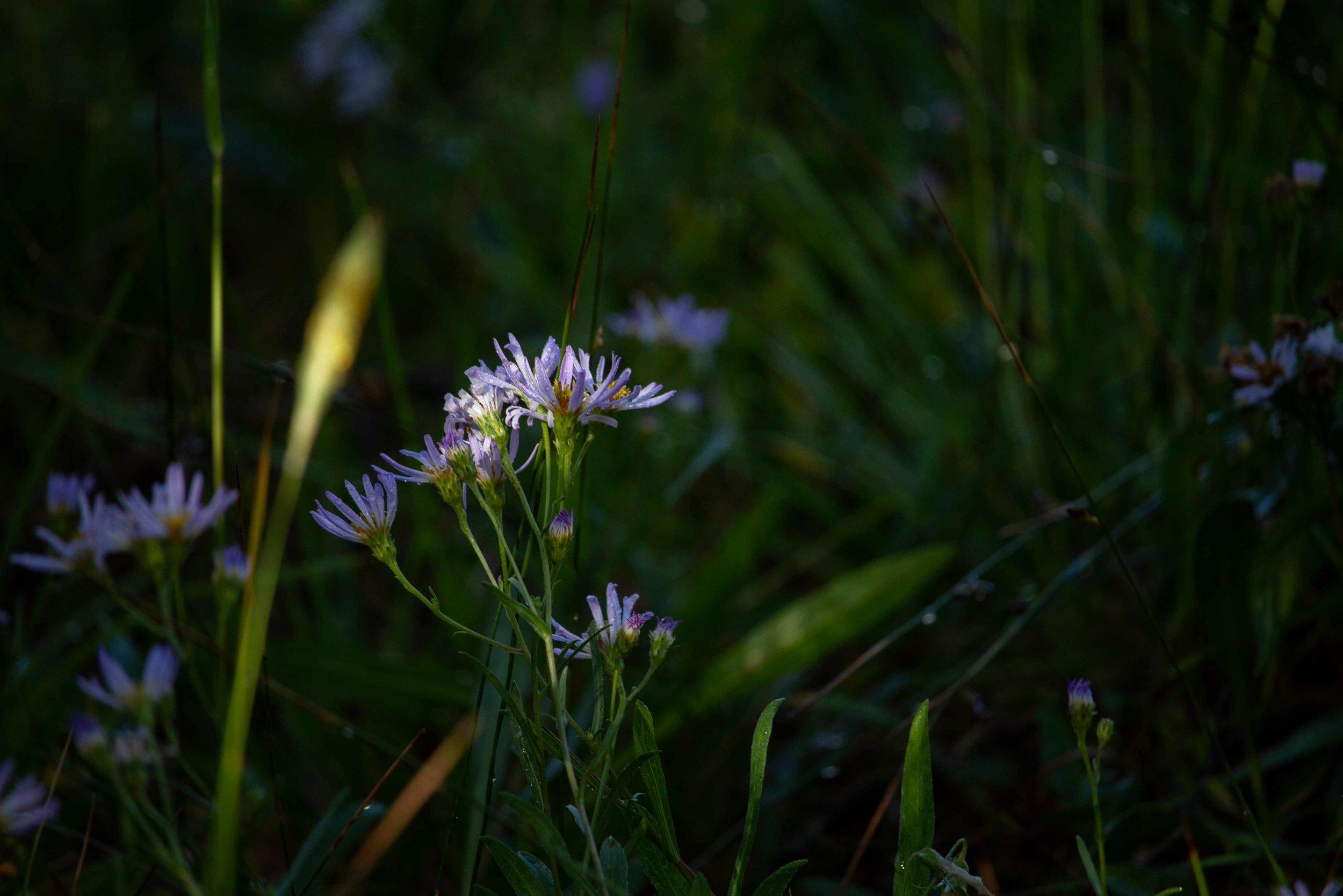 Wildflowers in the Upper Geyser Basin near Old Faithful.