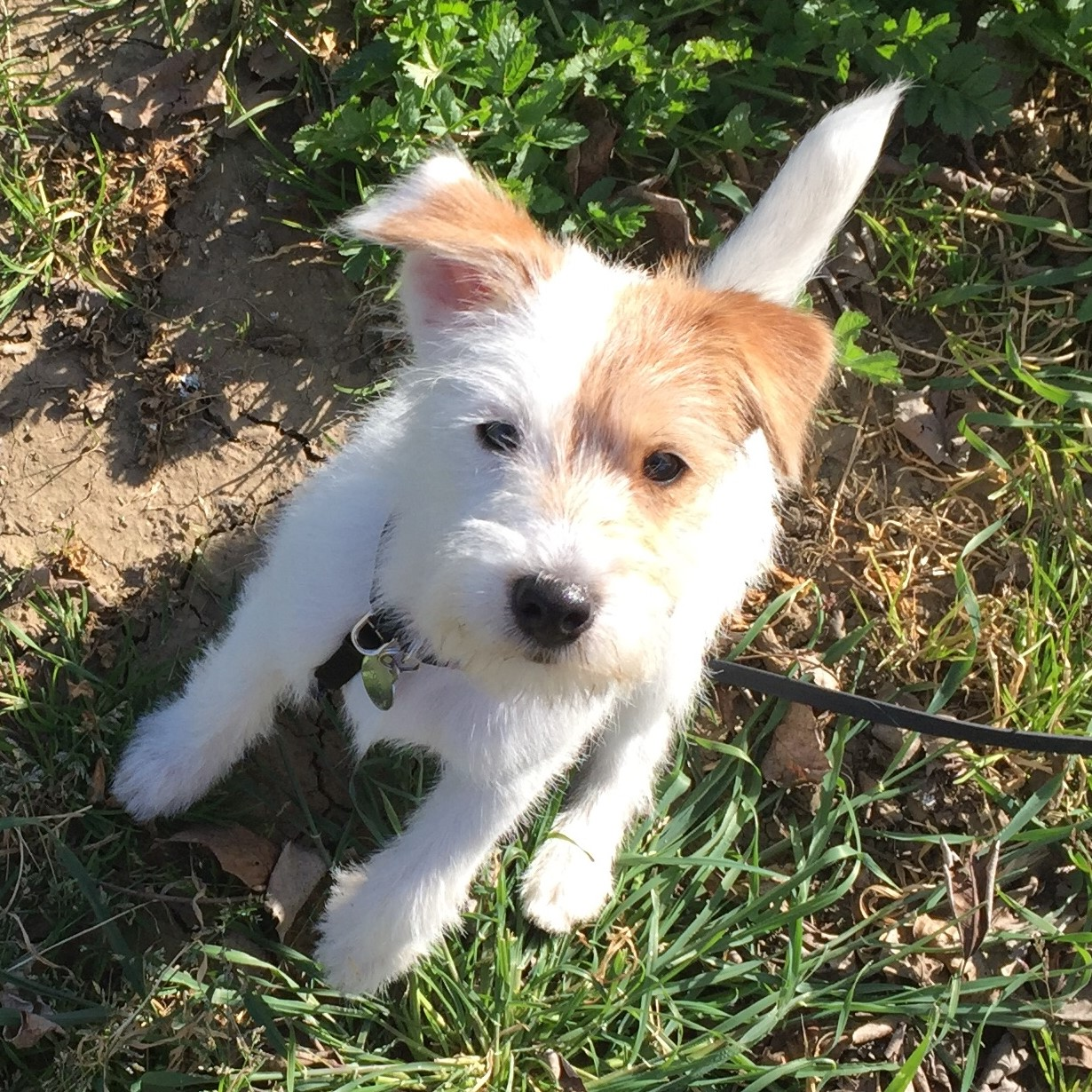 puppy training sit stay terrier.jpg
