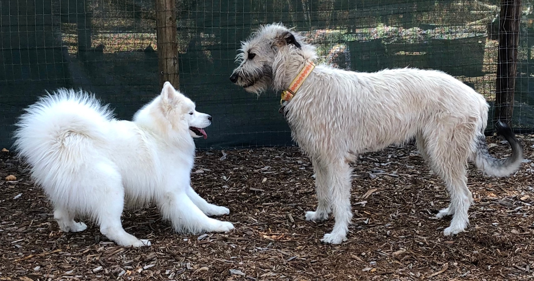 dog puppy assessment consult samoyed wolfhound
