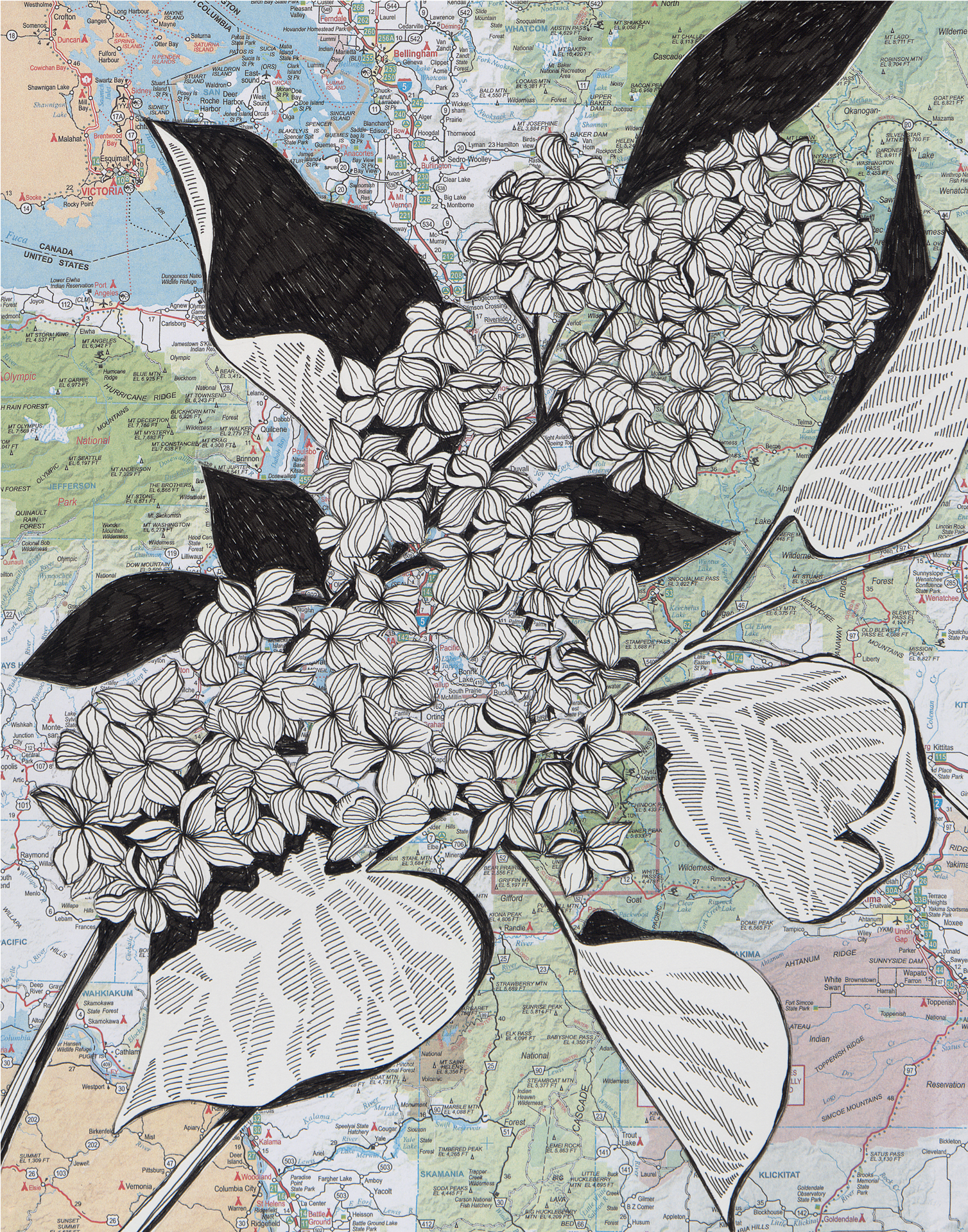 NW Lilacs