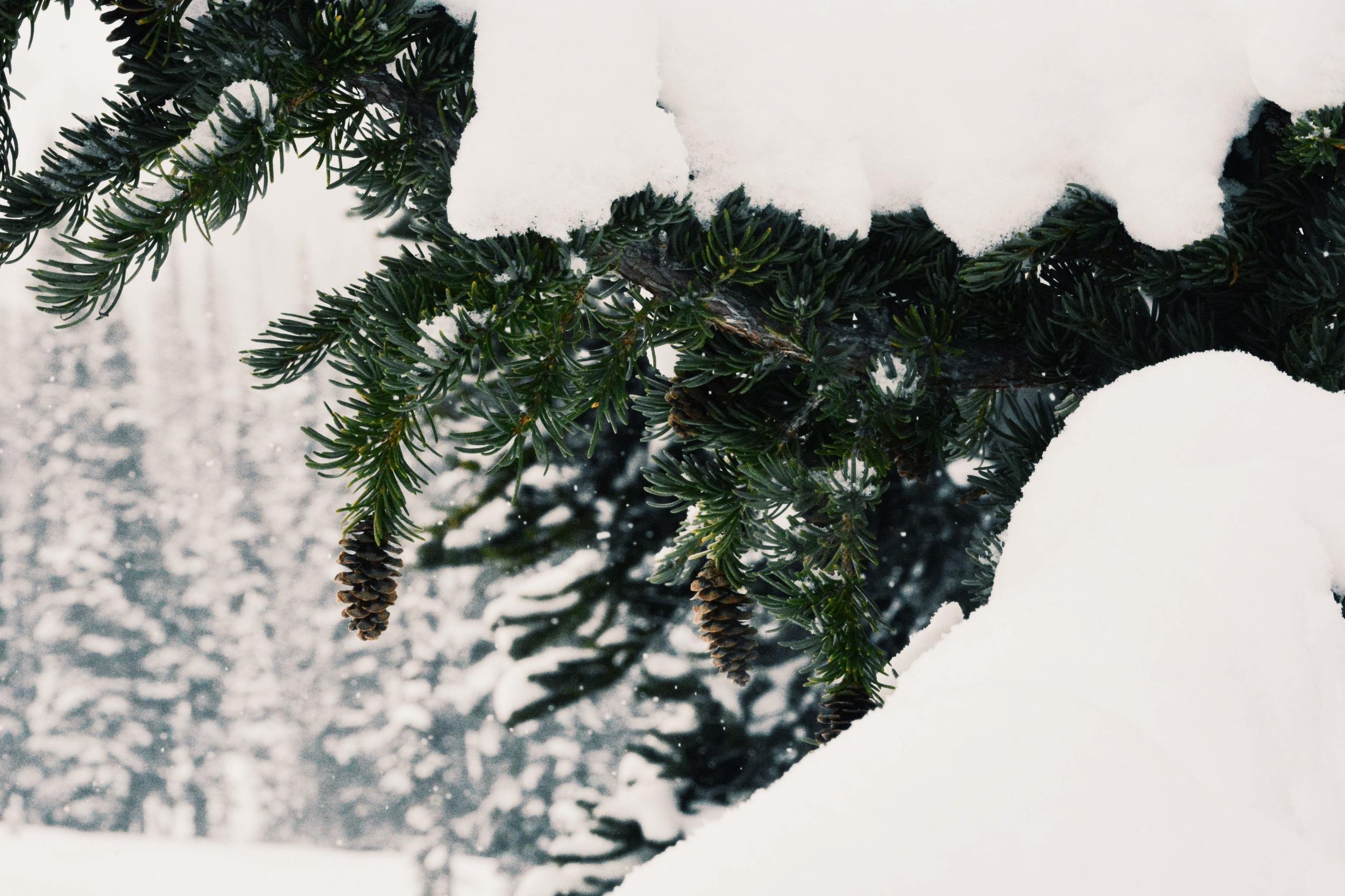 Snow-draped Evergreens in Whistler's Symphony Amphetheatre
