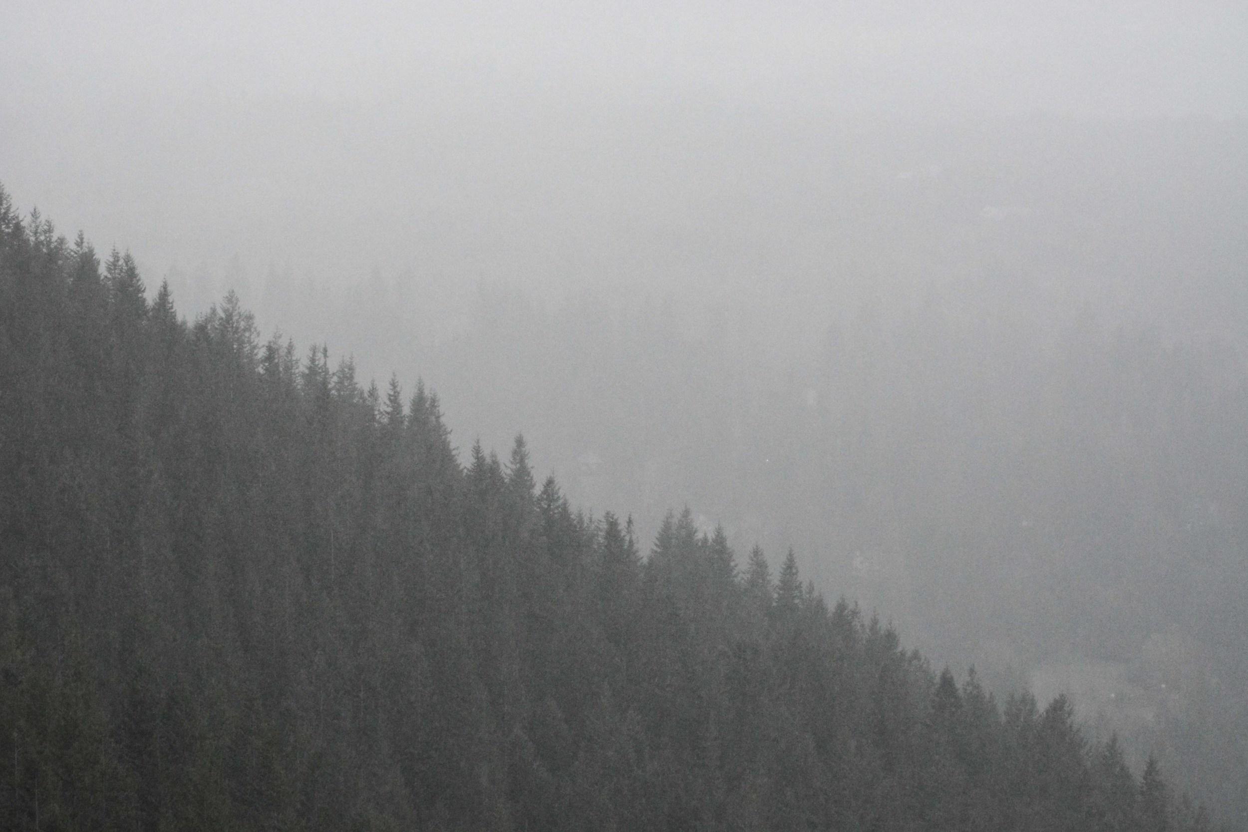 Evergreens in the Fog