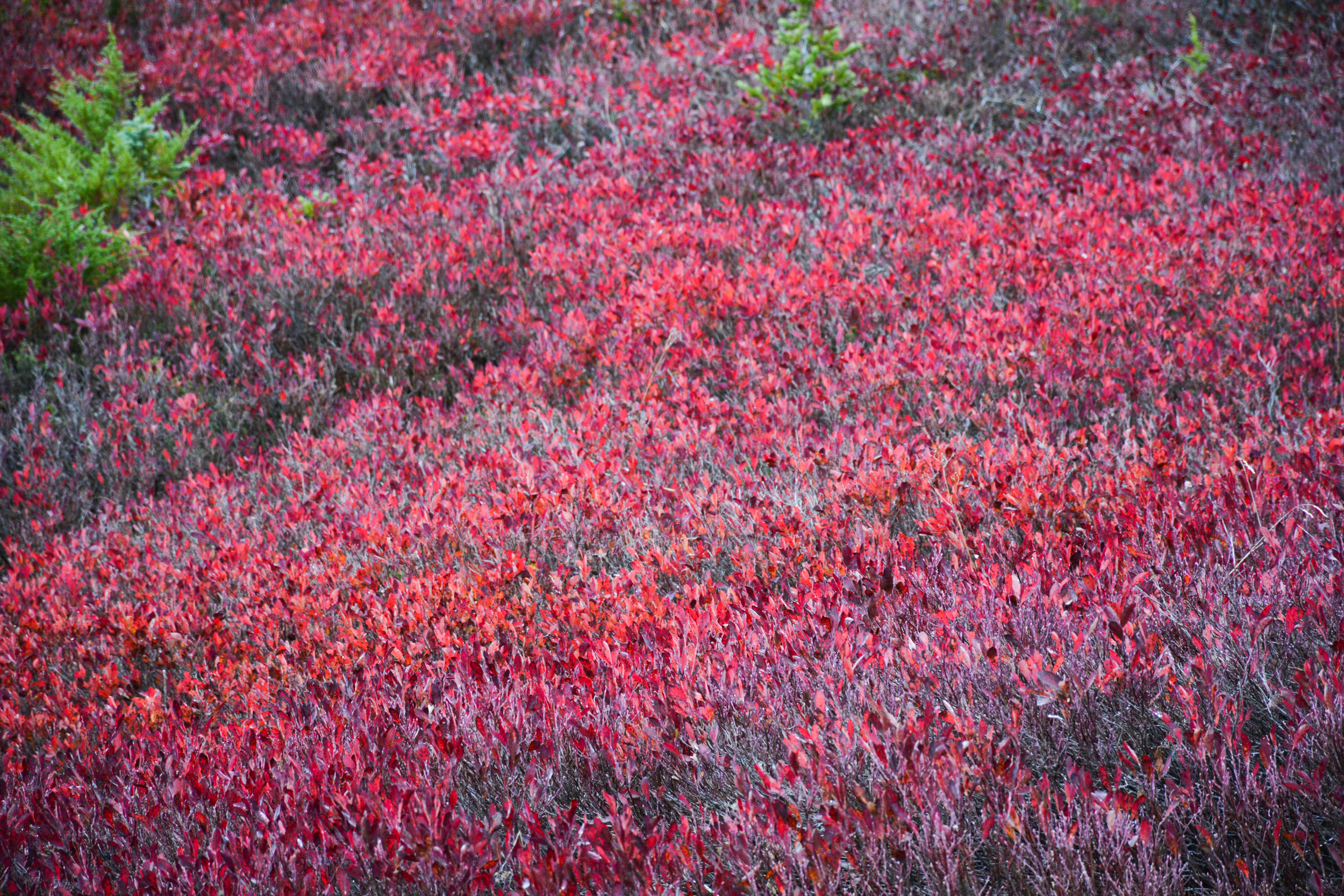 Red Blueberry Bushes at Mount Rainier National Park (Paradise_