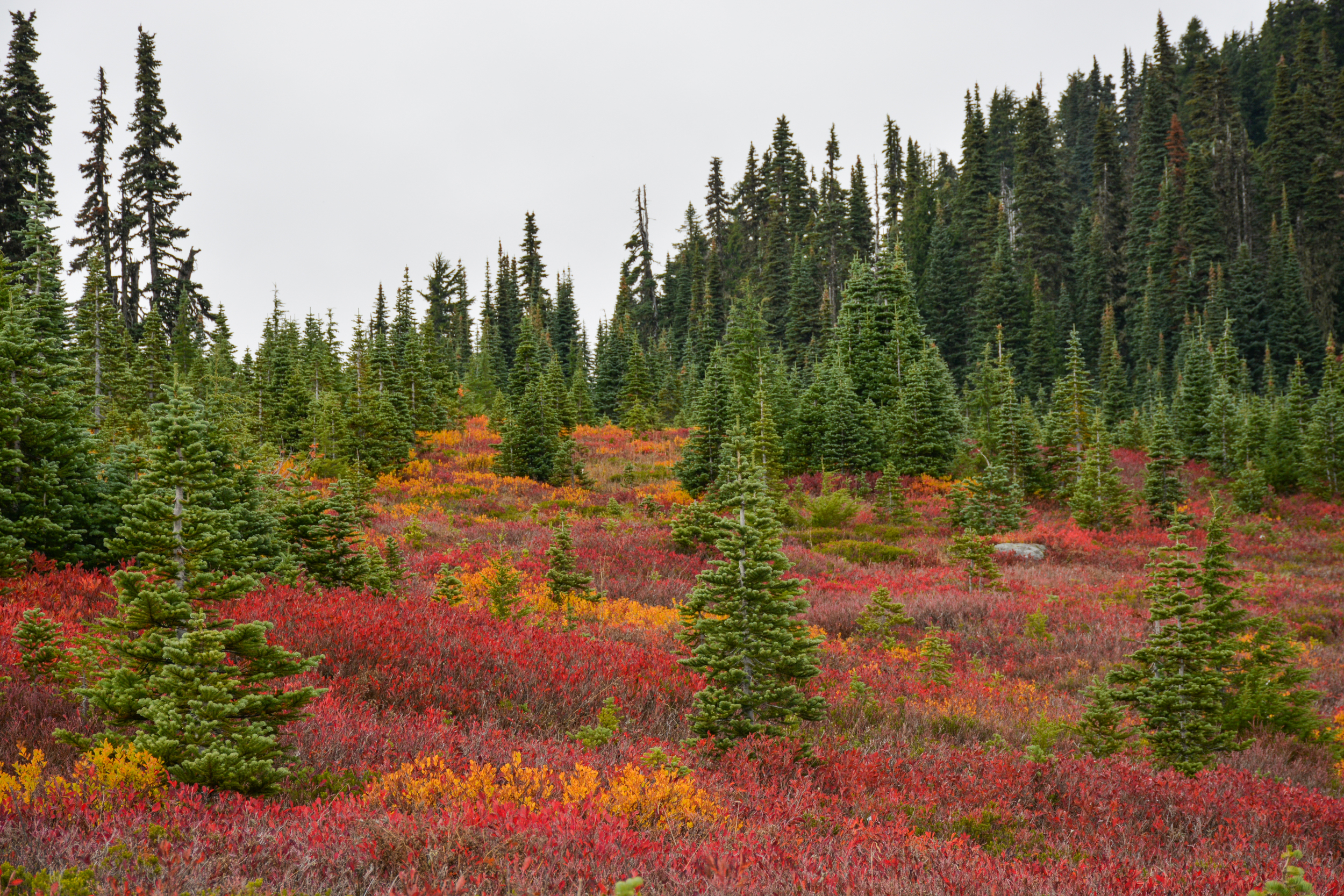 Evergreens contrasting with the fall foliage at Mount Rainier National Park