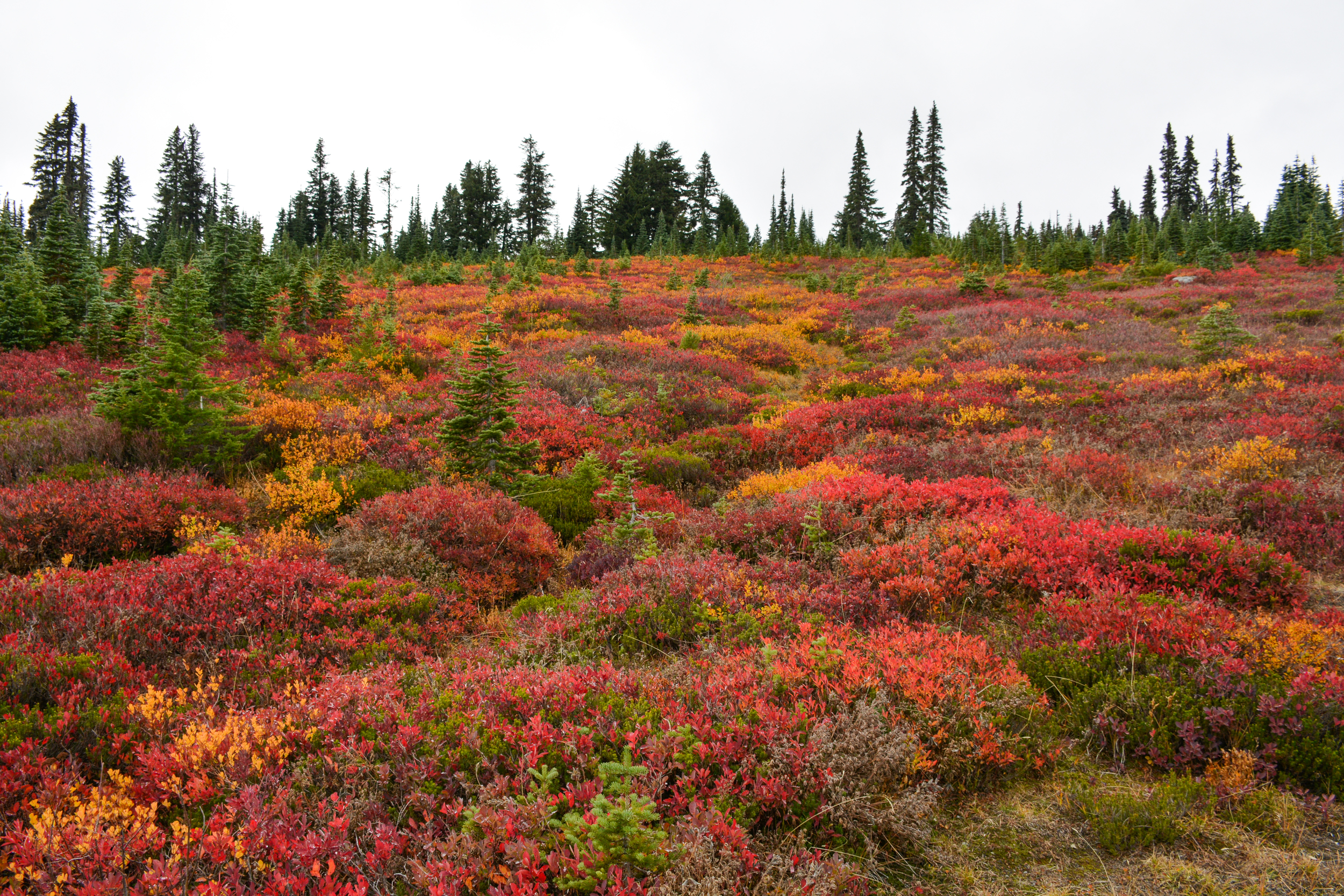 Alpine tundra showing color in September at Mount Rainier National Park