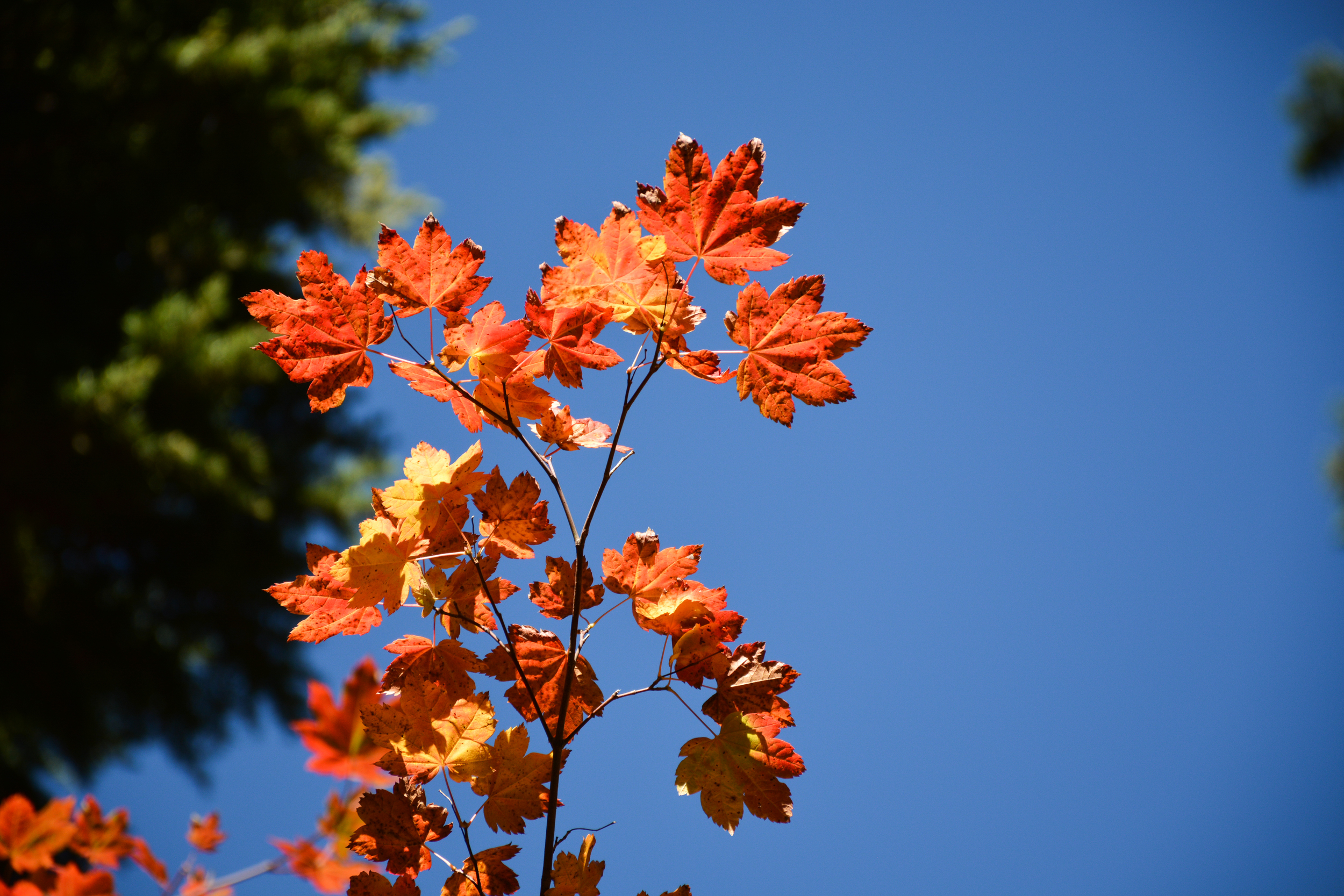Red maple leaves in Alpine Lakes Wilderness