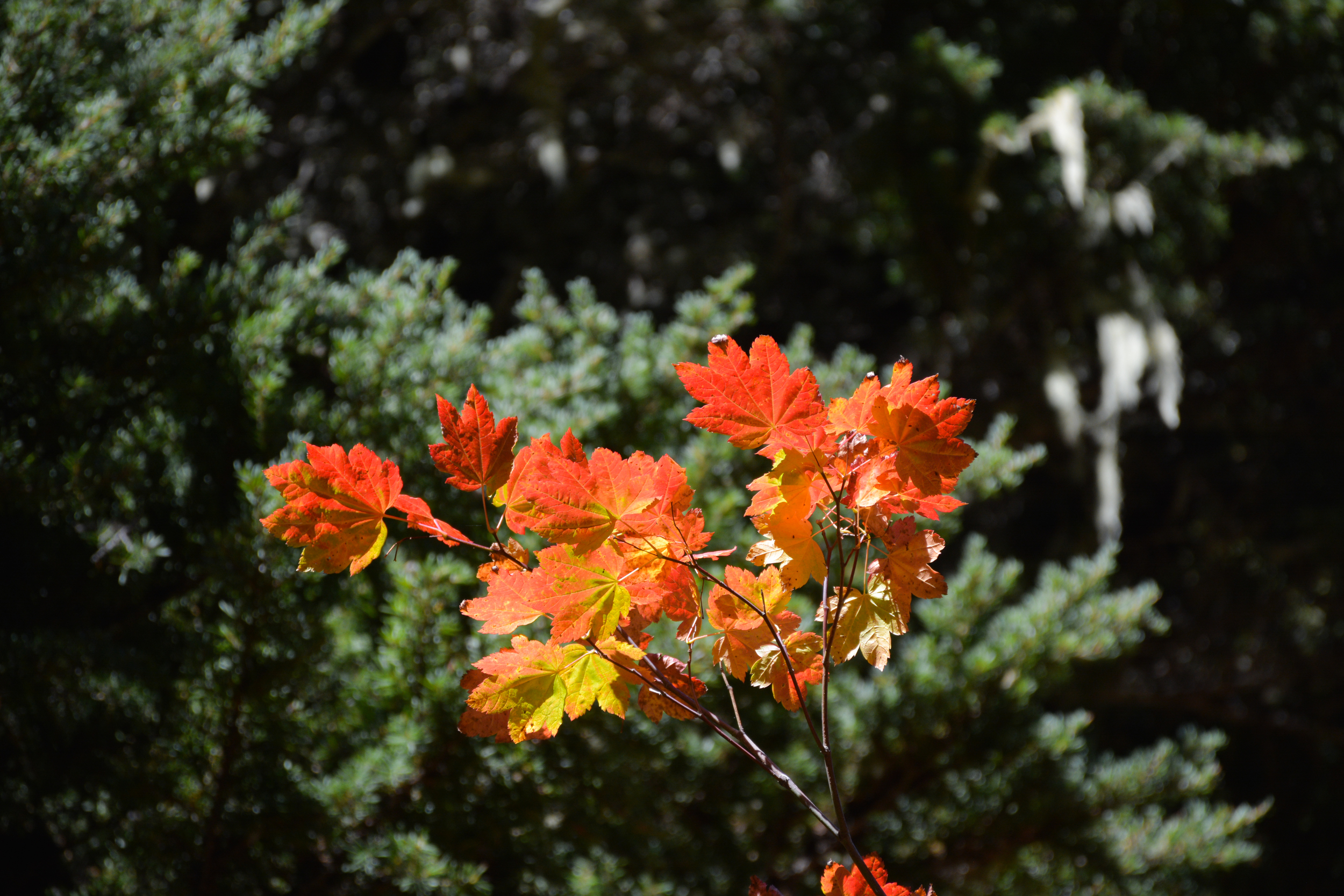 Bright maple leaves against evergreens in the backdrop