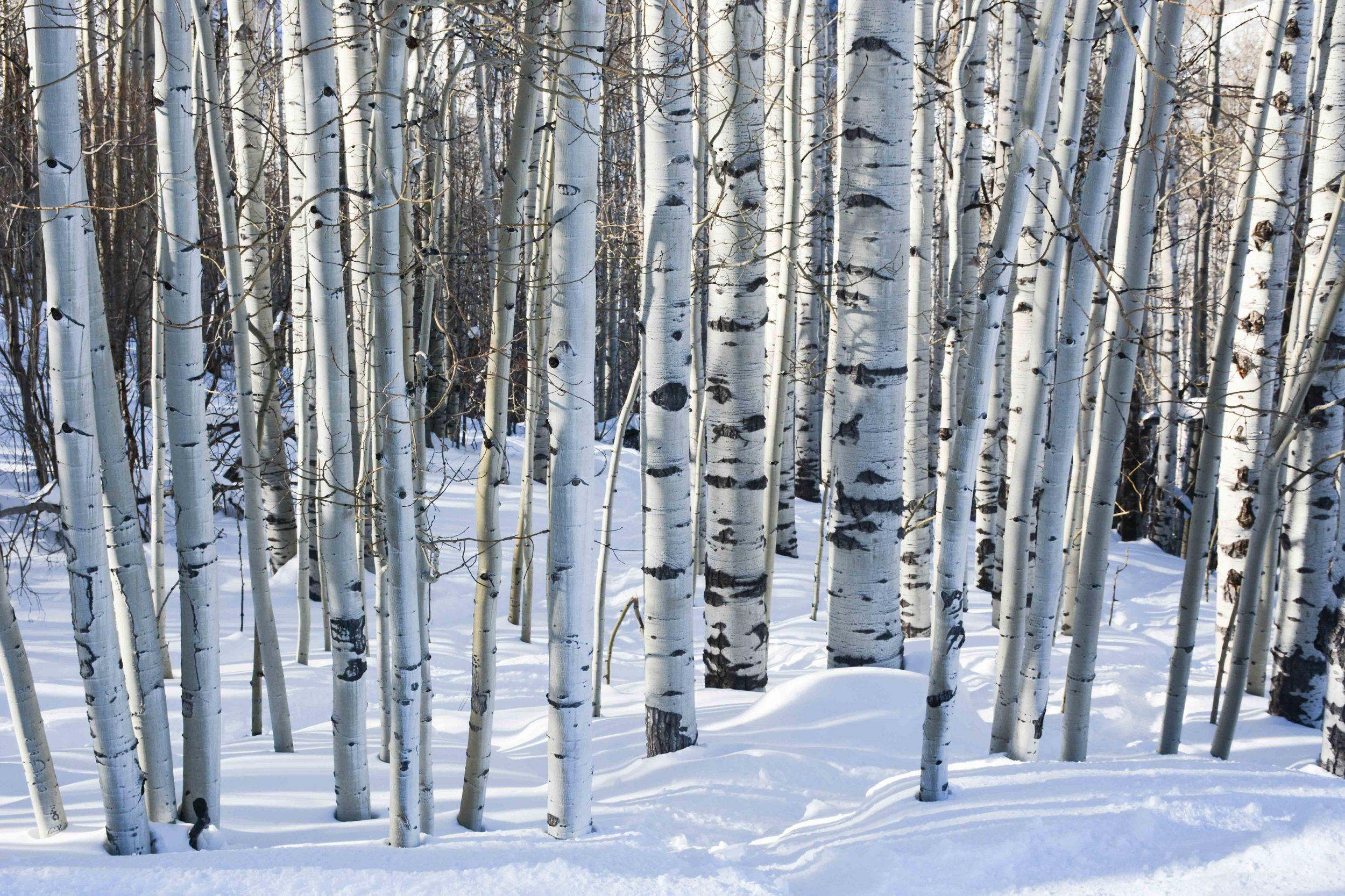 Beautiful Aspen Trees at Vail