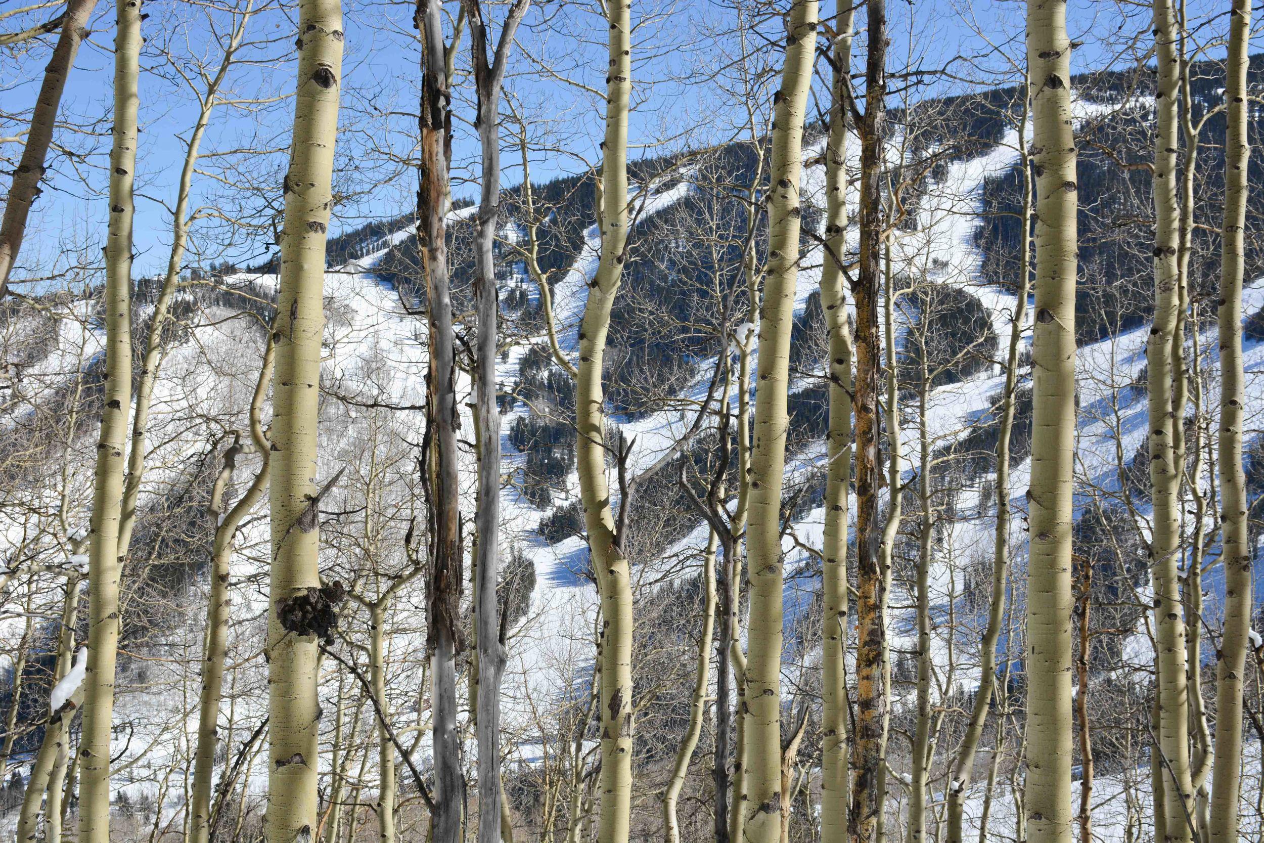 Beaver Creek Trails Through Aspens