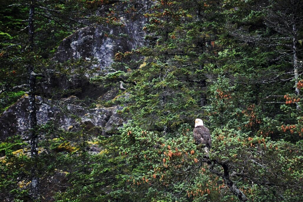 Bald Eagle Stalking Prey in Resurrection Bay