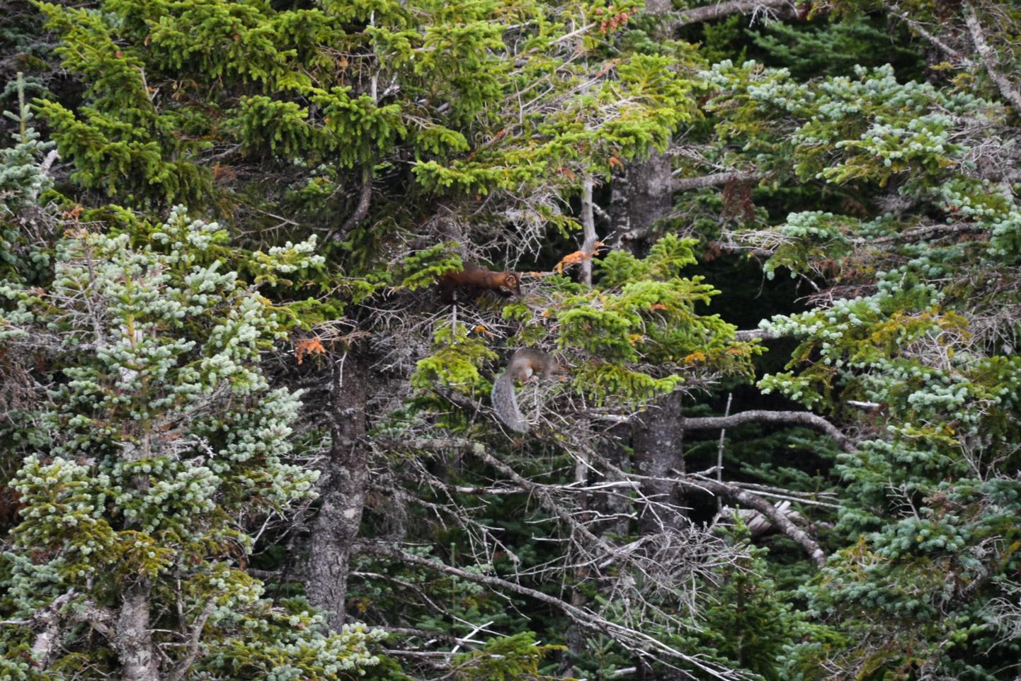 American Marten Hunting