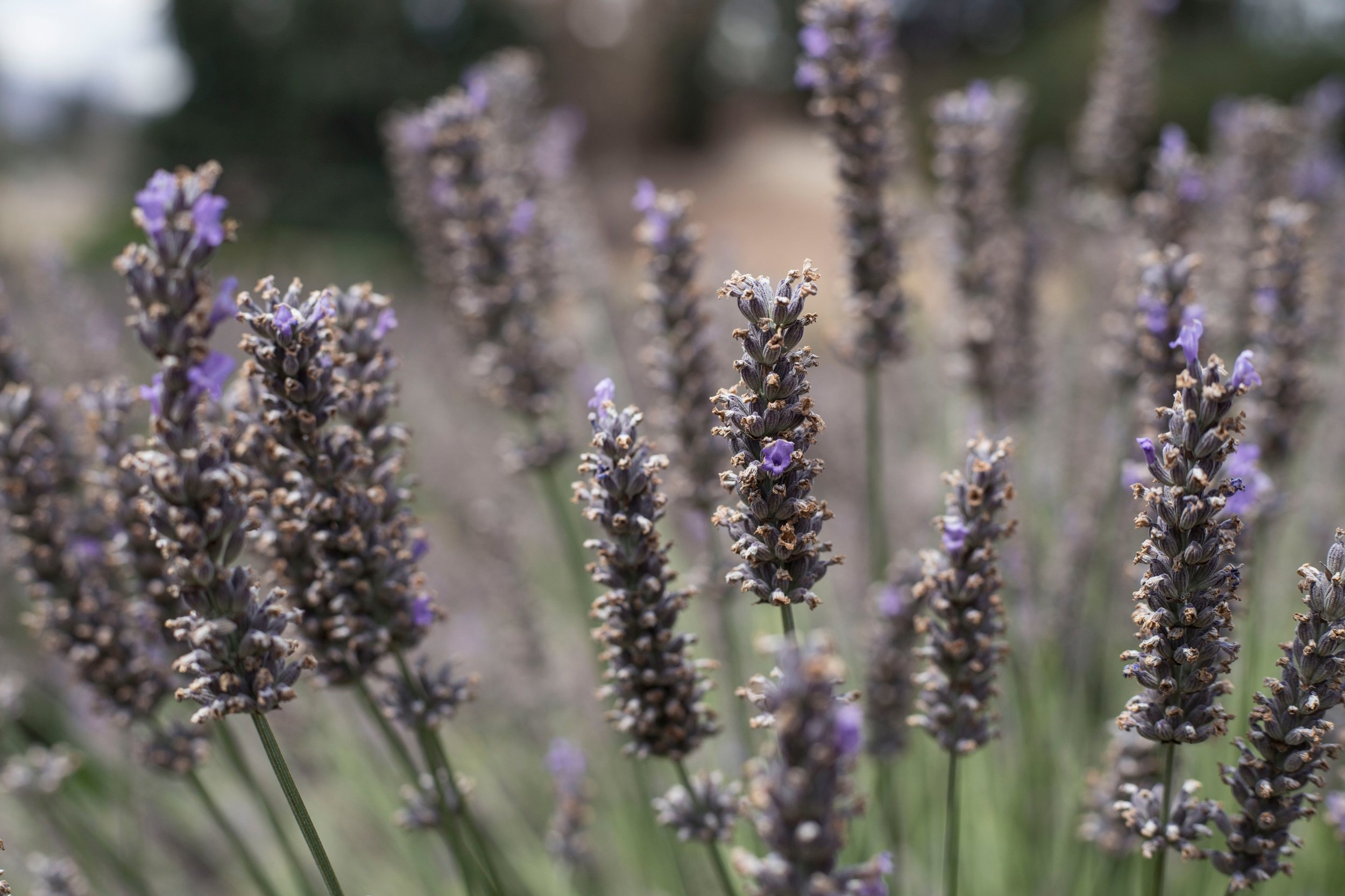 Lavender Close Up in Wanaka, New Zealand