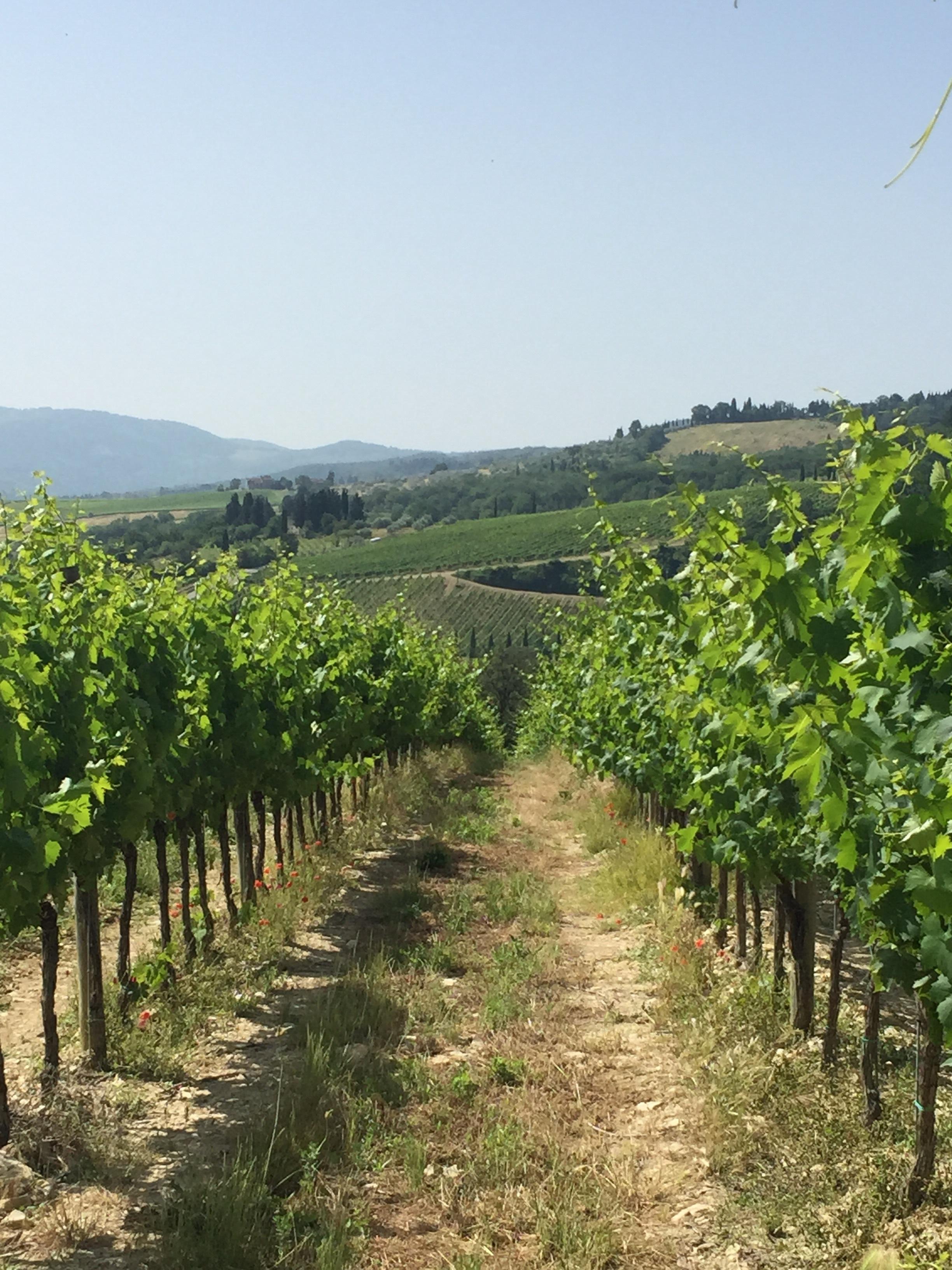 A Chianti region vineyard