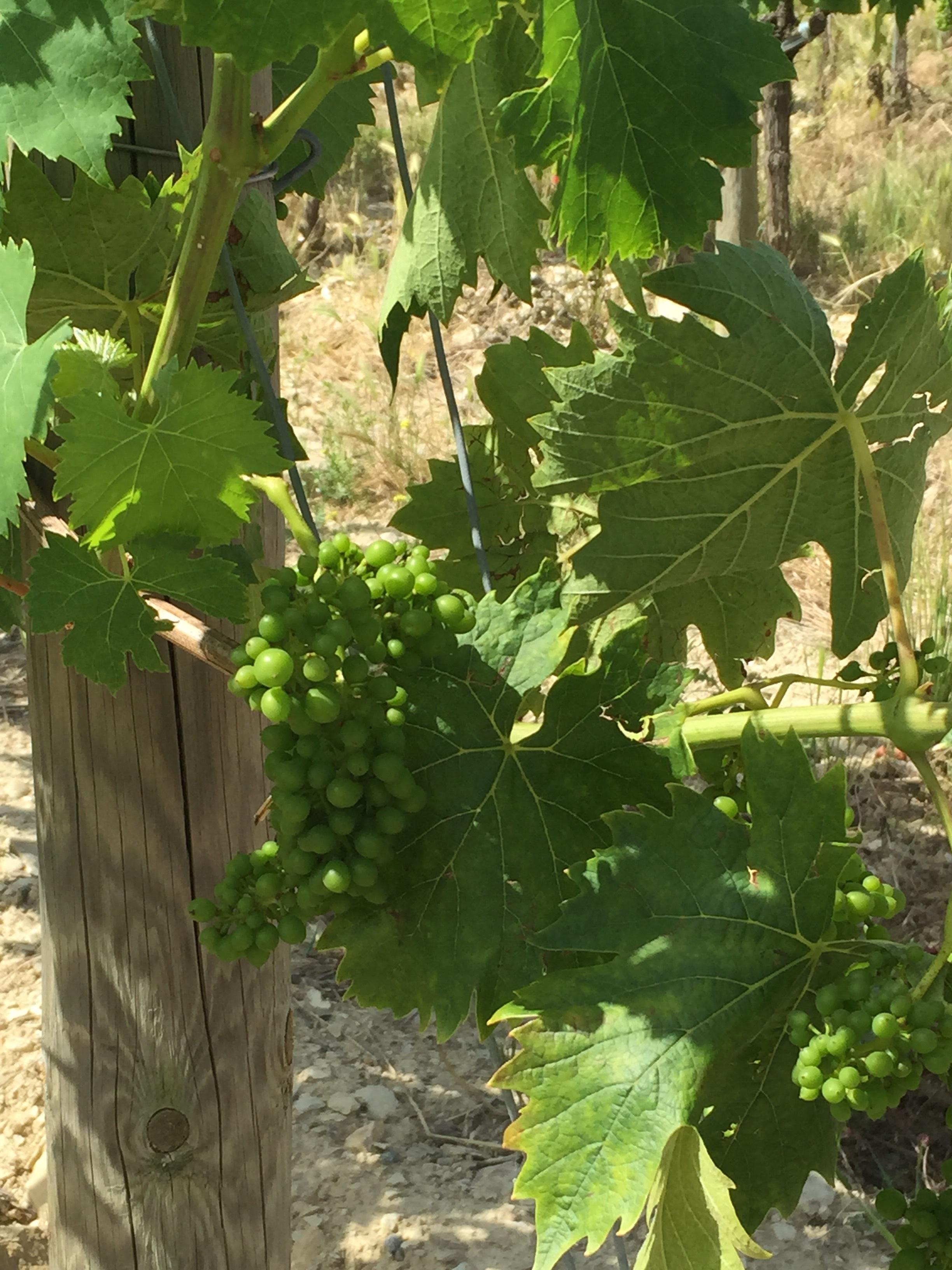 Chiant grapes