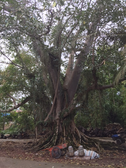 The ancestral tree of the Dai villiage we visited.  It is reputed to be more than 1000 years old.  It looks like it could be!