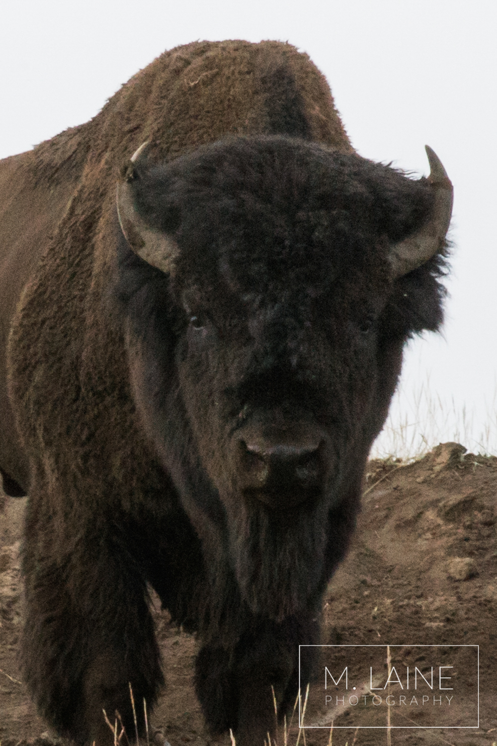 Yellowstone-Bison.png