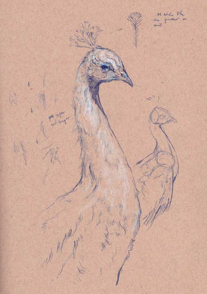 peacock-head.jpg