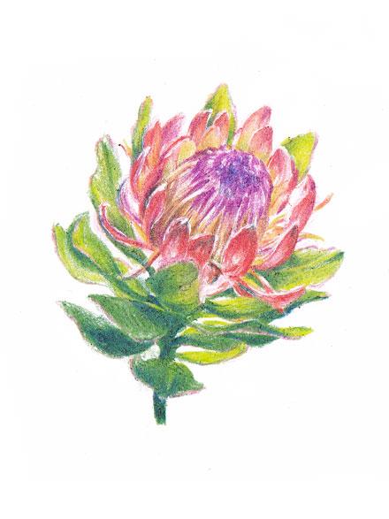 protea-cynaroides.jpg