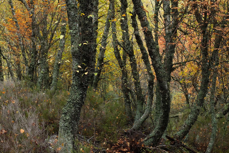 Bosques de bétulas povoam as encostas do novo território do urso-pardo - uma das propostas  Saída à Medida  para este outono.