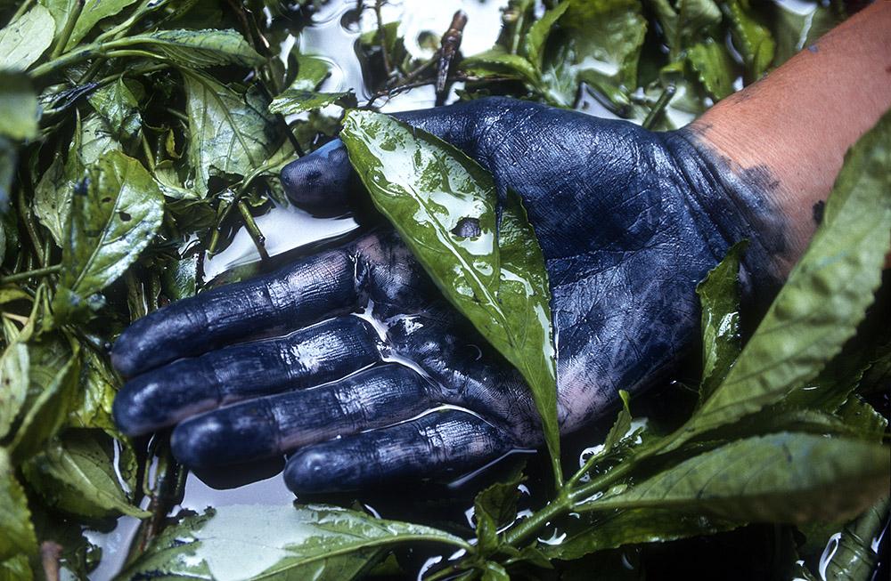 Folhas de  indigofera  demolhadas em água...