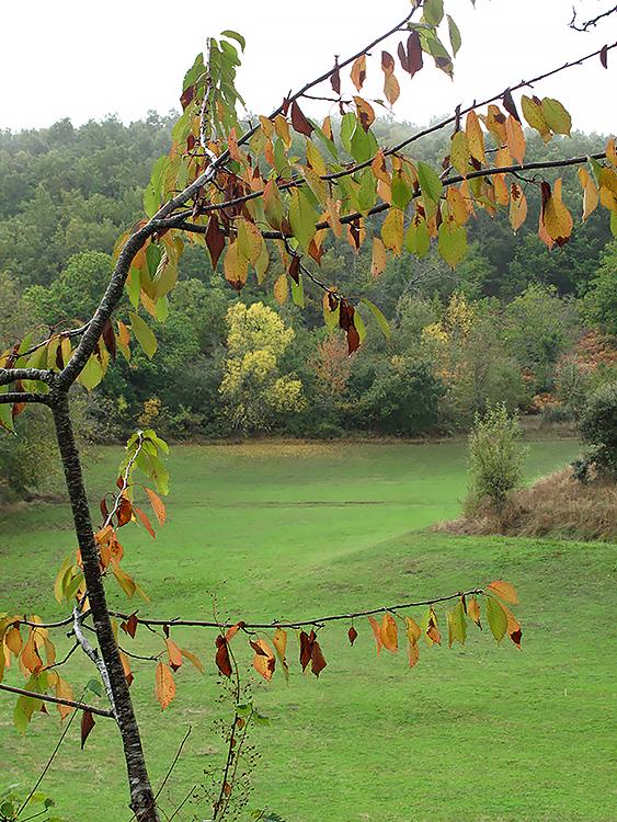 Zero passos: ginjeira do meu quintal a anunciar o outono.