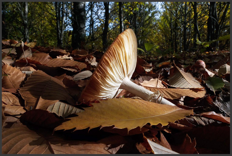 Um cogumelo tombado num castinçal (é assim que se chama um bosque de castanheiros-bravos).