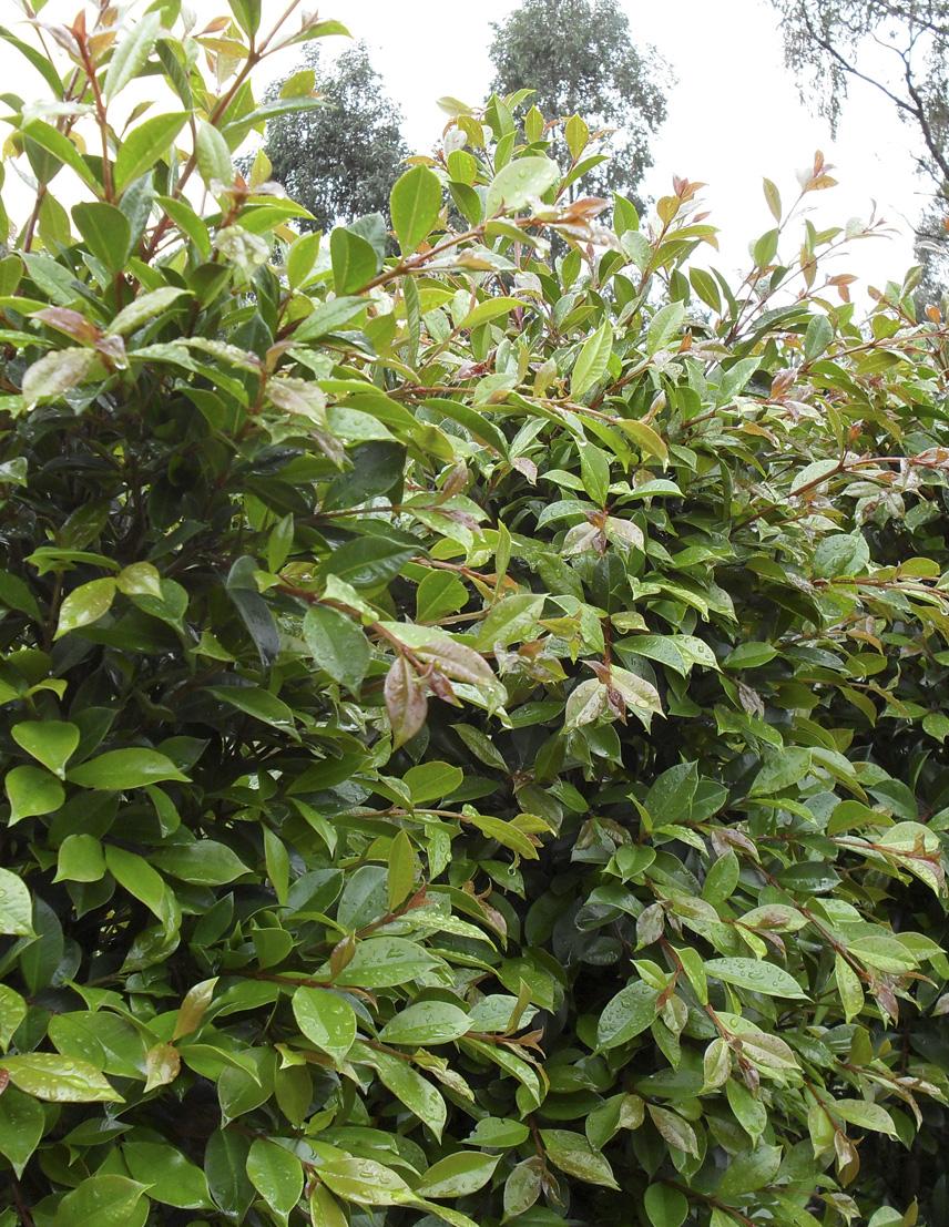 Syzygium-Backyard-Blitz.jpg