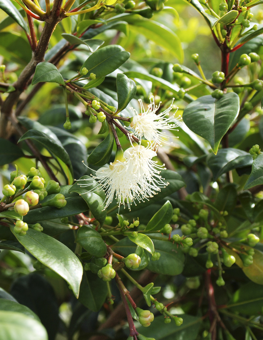 Syzygium Resilience