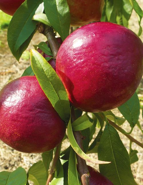 Sunbob Nectarine