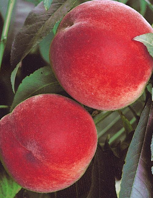 Peach Anzac Tree