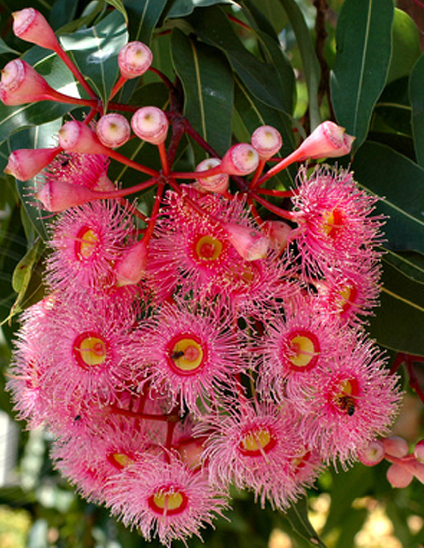 Corymbia-Grafted-Summer-Red.jpg