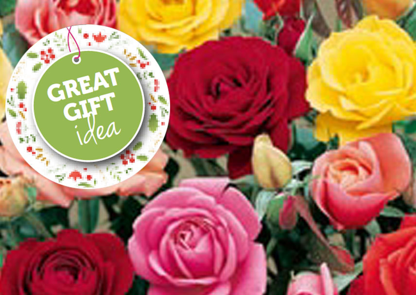 small-banner-assorted_potted_roses.jpgChoose for a great range of the best fragrant potted roses 200mm pot.