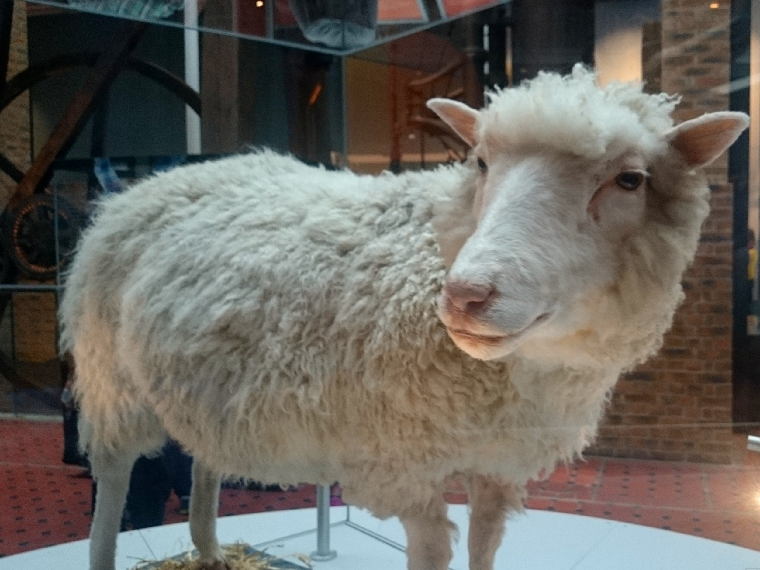 Spinning around on her podium! Dolly was gifted to the museum by the Roslin Institute, University of Edinburgh where she was the first cloned mammal ever to be created from an adult cell. She's kind of a big deal.