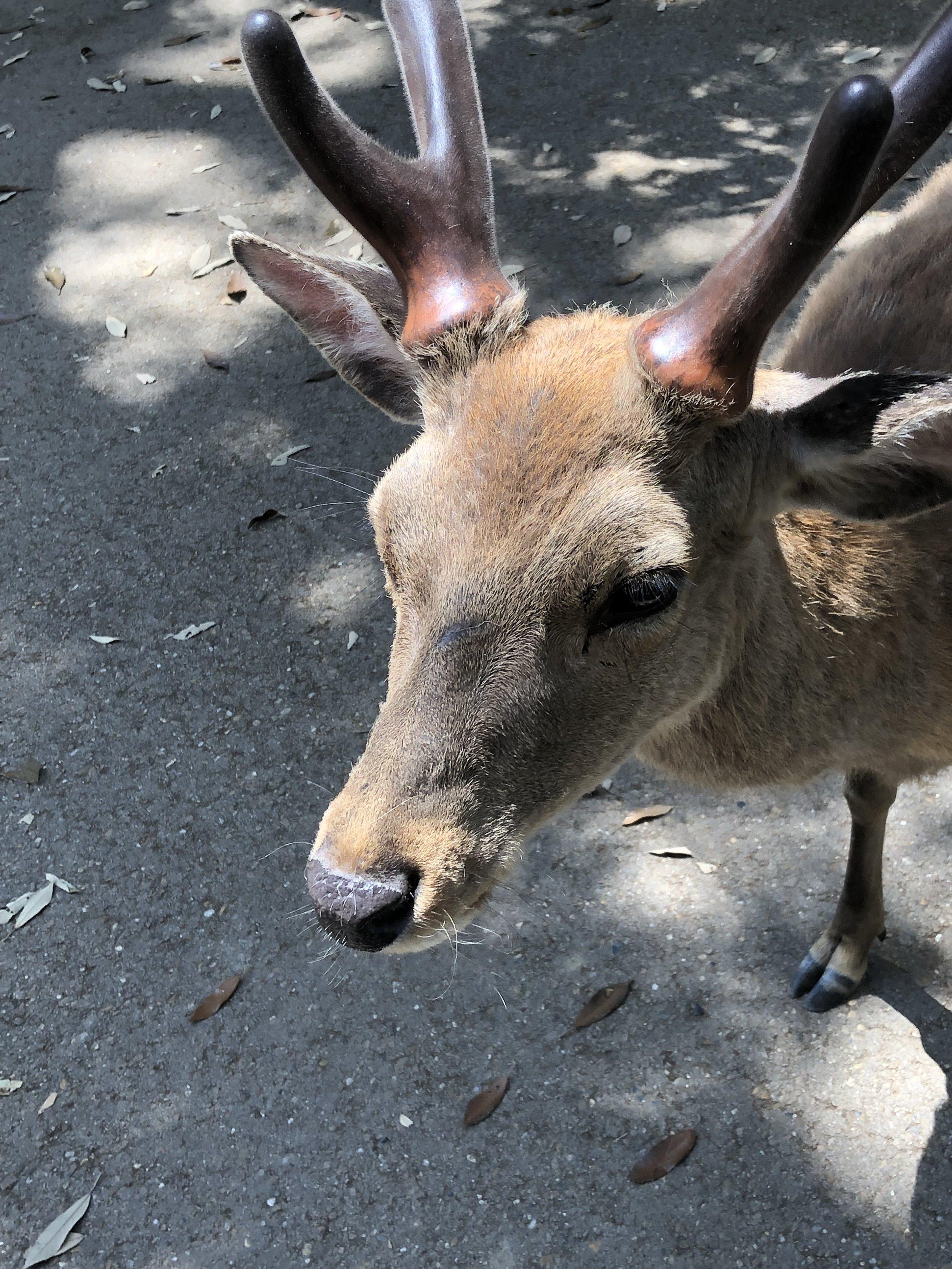 The deer roam free at Toda-ji (Nara)