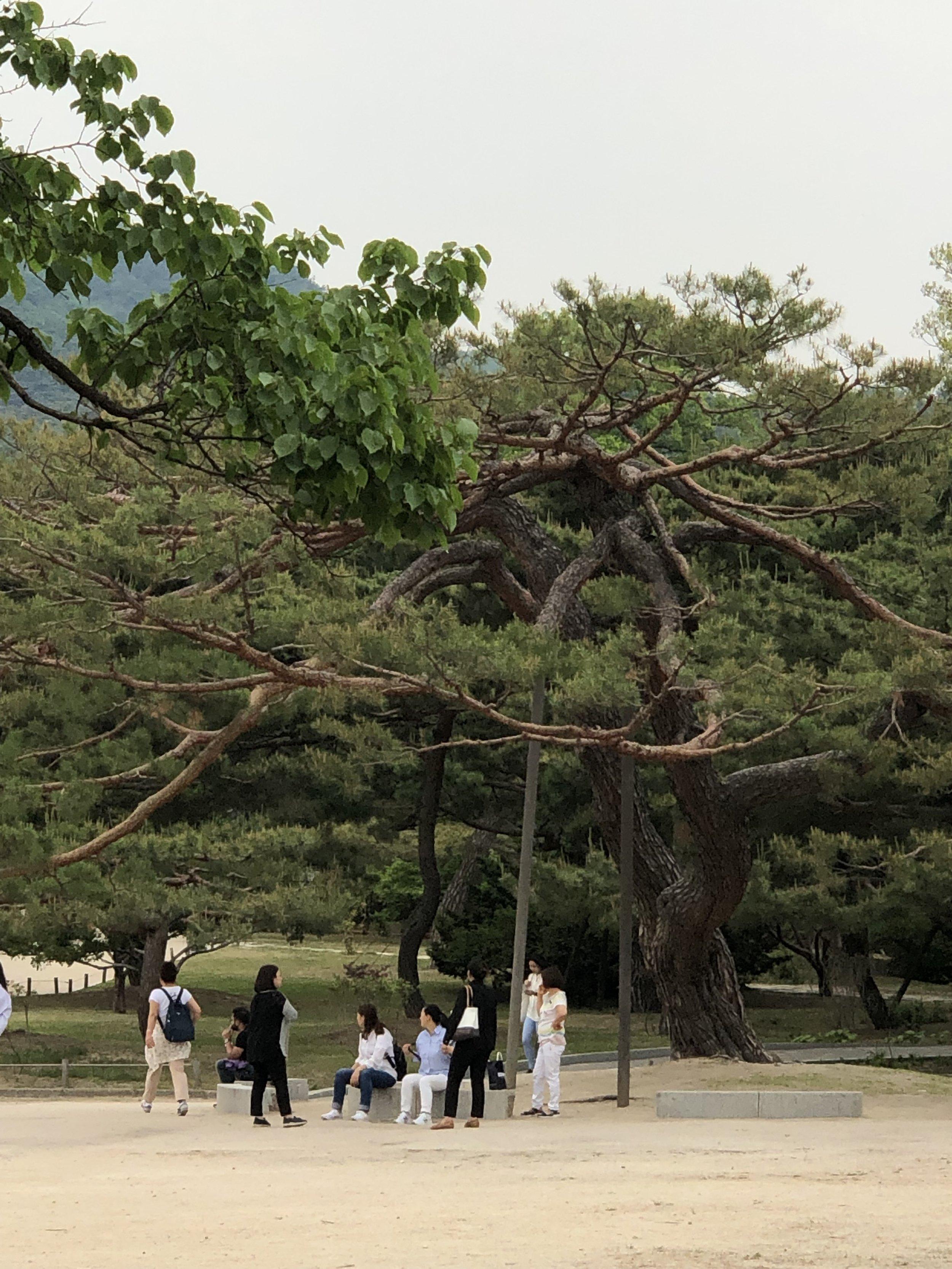 Red Oak - Gyeongbokgung Palace (Seoul)