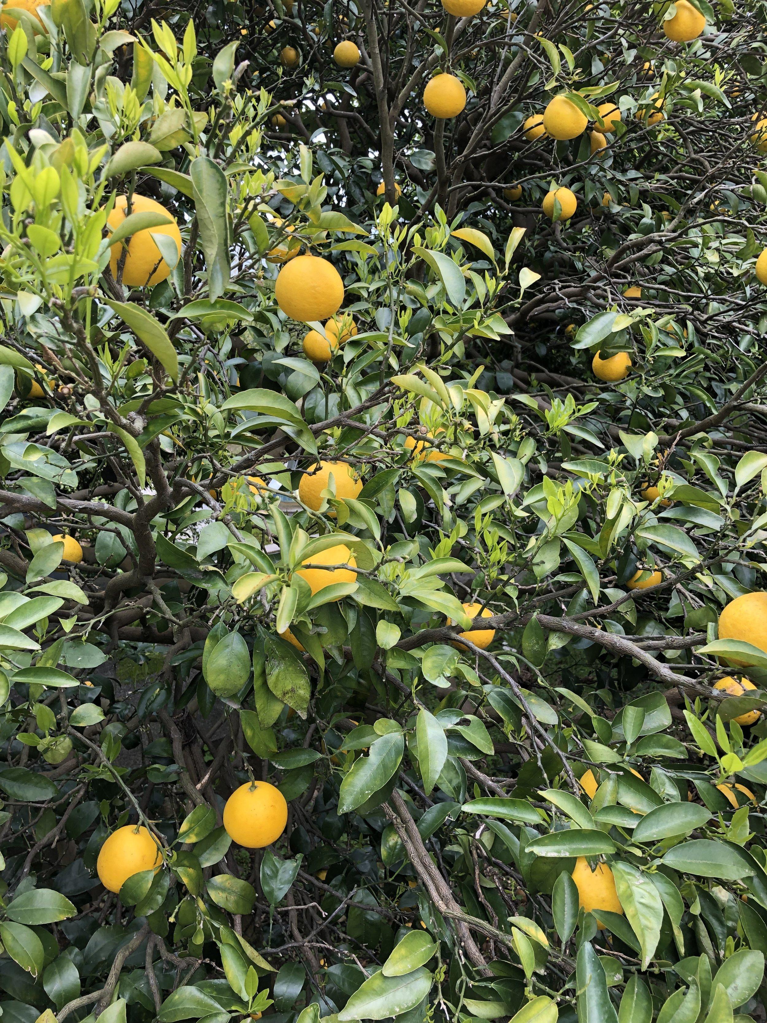 Orange grove (Enoura Observatory)