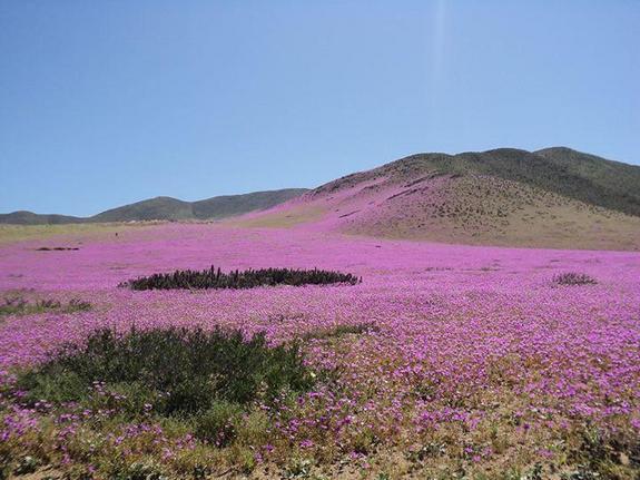 pink-blooms-atacama.jpg