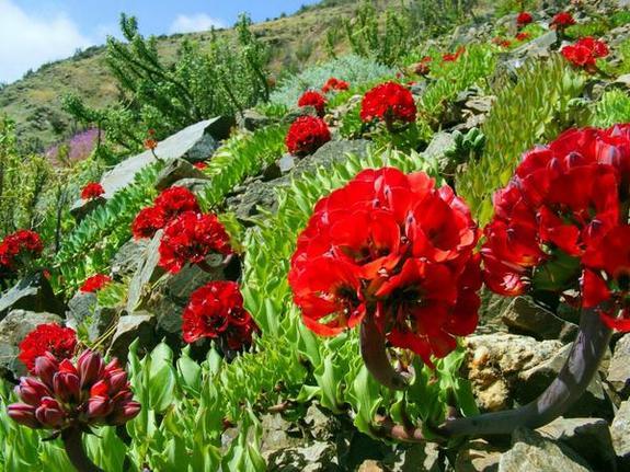 red-atacama-blooms.jpg