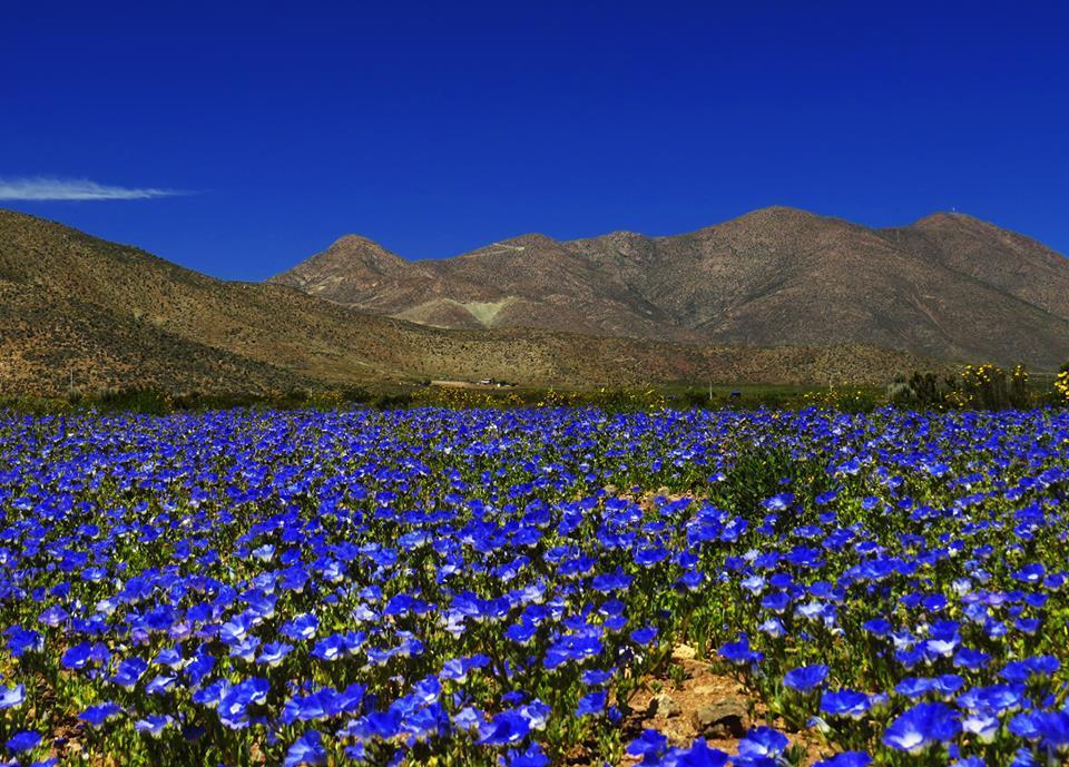 blue-atacama-blooms.jpg