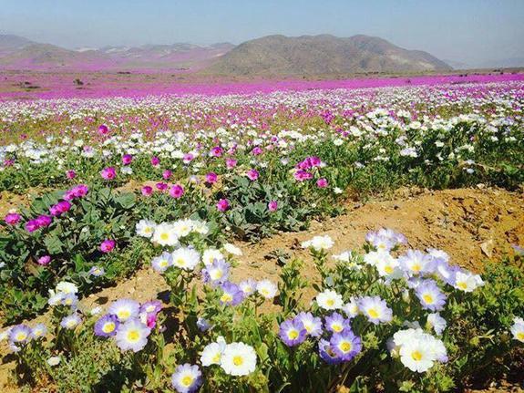 white-pink-purple-atacama-blooms.jpg
