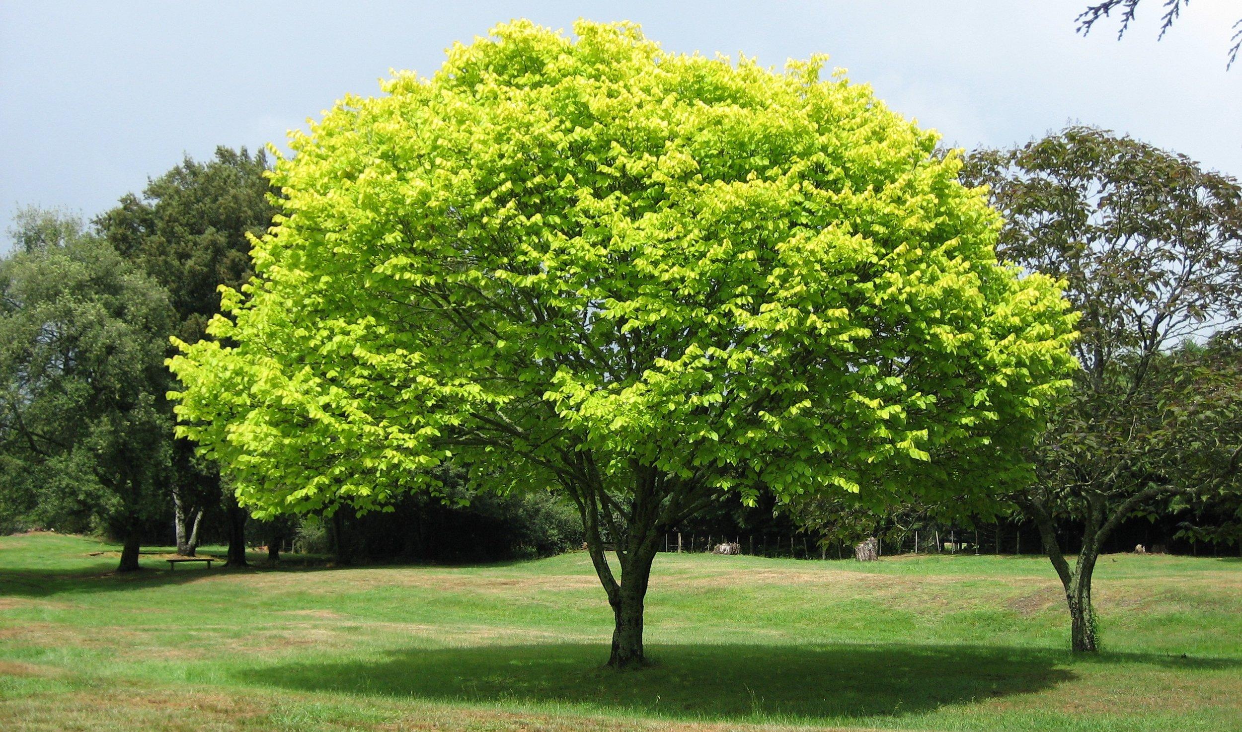 Bright_green_tree_-_Waikato.jpg