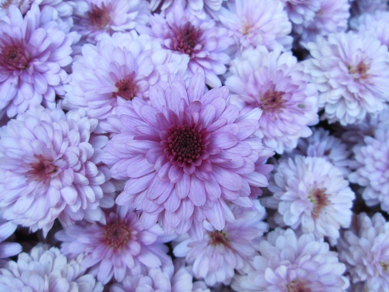 MaxPixel.freegreatpicture.com-Garden-Chrysanthemum-Cluster-Flower-Purple-White-557750.jpg