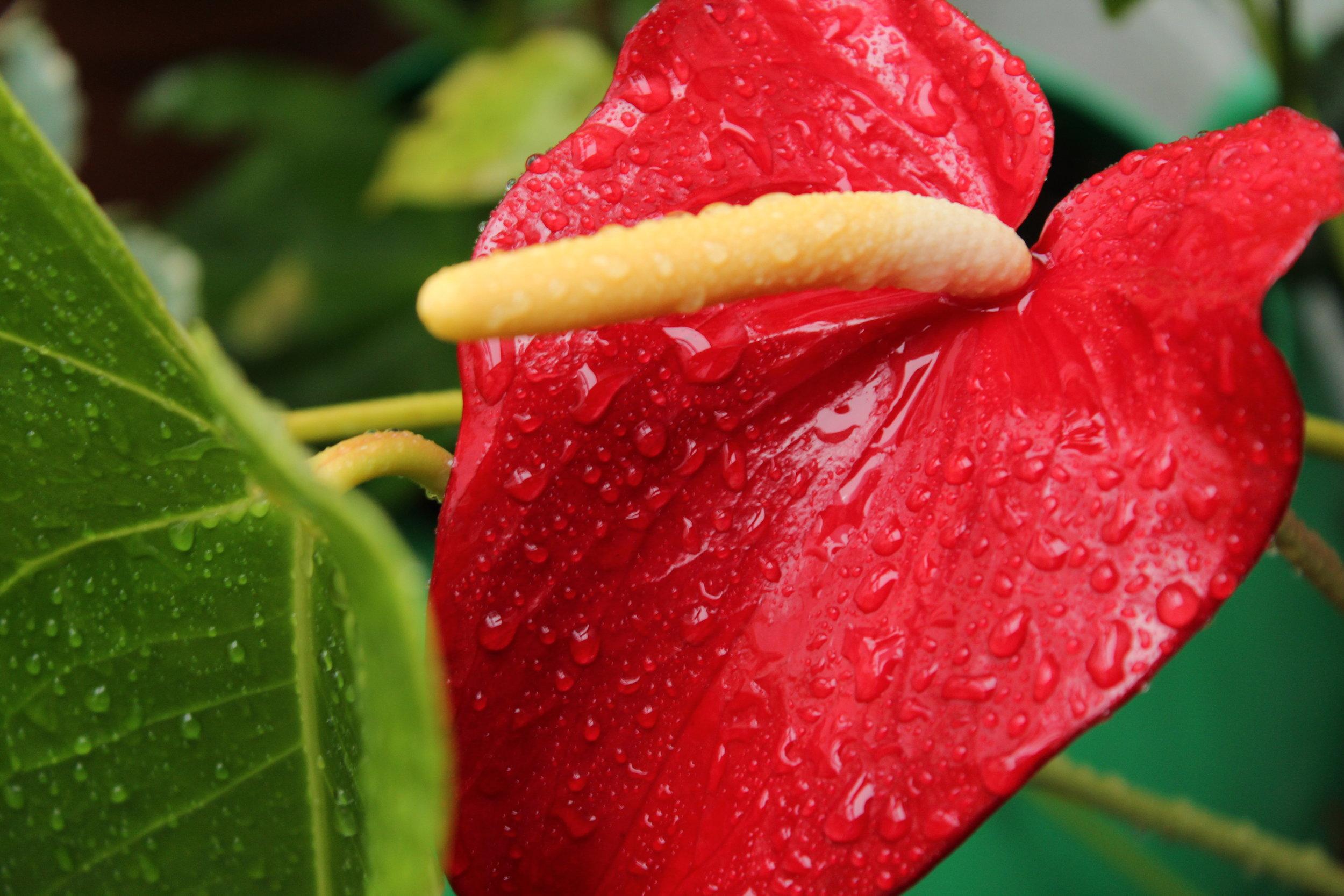 nature-flower-rain-red-anthurium-leaf-1574473-pxhere.com.jpg