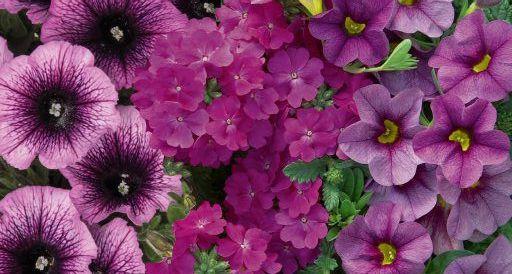 Confetti Garden Purple Cleopatra