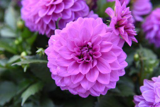 Hypnotica Lavender