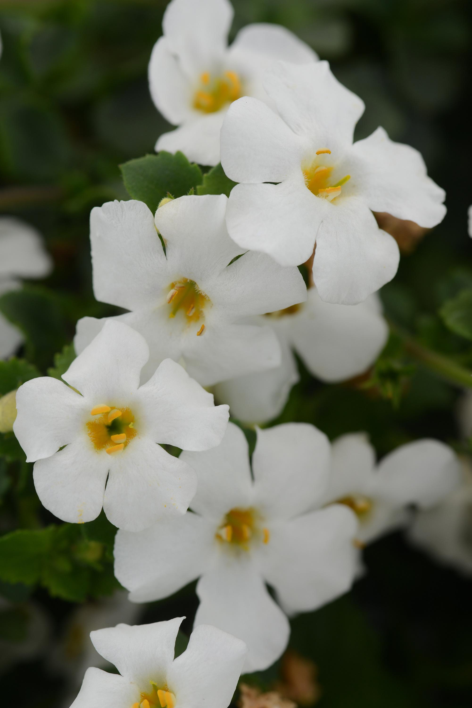 Bacopa Megacopa White