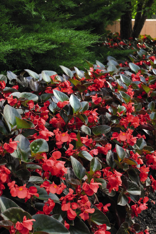 Begonia Whopper Bronze Leaf Red